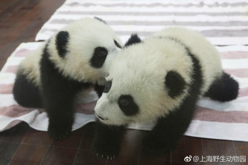 圖/上海野生动物园微博 好萌!上海動物園 10對雙胞胎動物寶寶見客