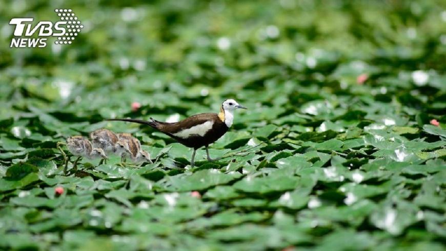 圖/中央社 台南水雉冬季普查  比去年多206隻