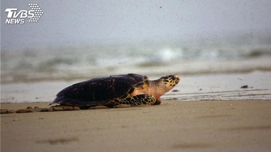 圖/達志影像美聯社 肯亞海龜悲歌 誤食塑膠垃圾痛苦而死
