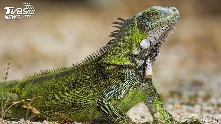示意圖/TVBS 憂綠鬣蜥吃掉農作物  農政單位傷腦筋