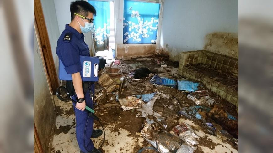 圖/SPCA (HK) 香港愛護動物協會提供 有圖慎入!放14隻狗斷糧 「啃同伴屍」被糞便淹沒