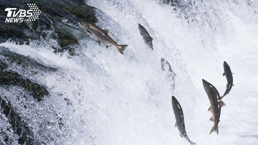 示意圖/Shutterstock 鮭魚量大減 日企向「挪威養殖鮭」尋商機