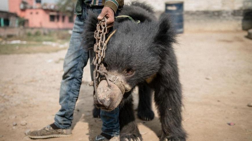 結束虐待 尼泊爾最後2隻「跳舞熊」被救出