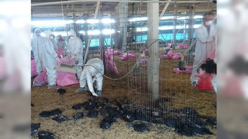 雲林家禽染H5N2禽流感 撲殺逾1萬隻