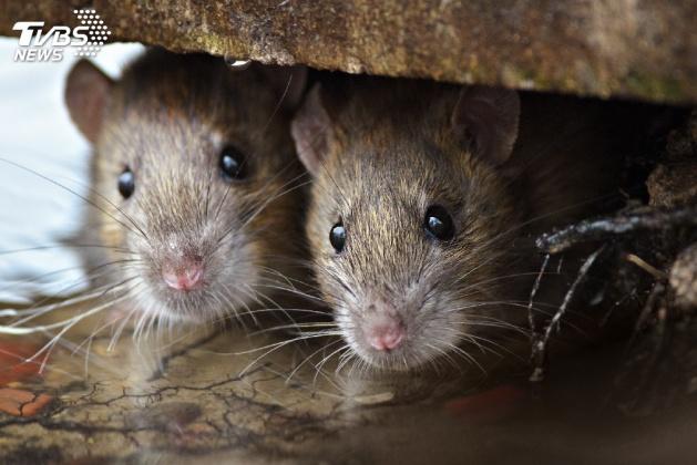 野老鼠人人懼怕。示意圖/TVBS 倫敦鼠患出現驚人變異種 英女王被嚇到