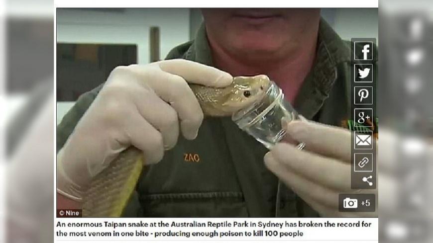 太攀蛇一次可吐3.1公克的毒液,是一般毒蛇的2倍,牠一口可讓100人死亡。(圖/翻攝自每日郵報) 「這隻蛇」毒液量超驚人 一口能讓100人喪命