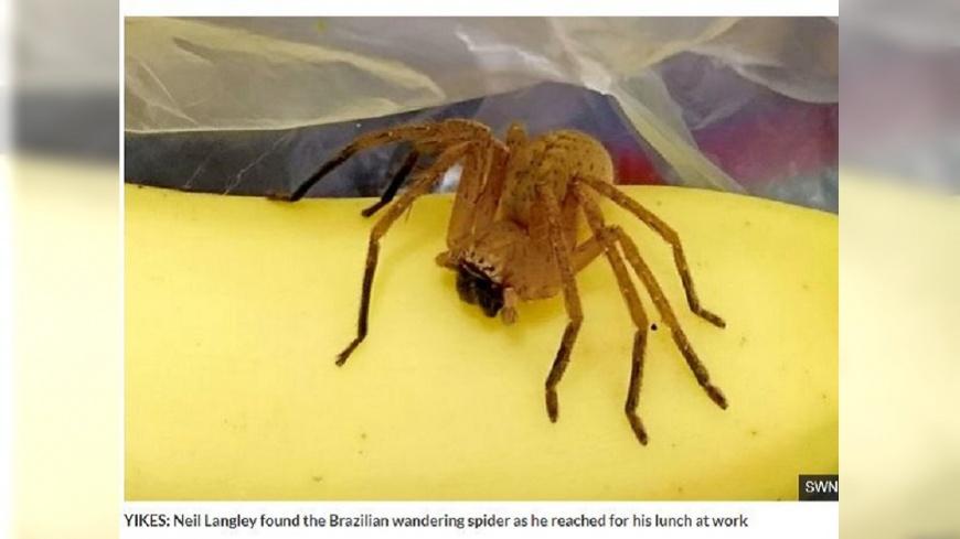 英國一名男子去超市買香蕉,回家時赫見一隻蜘蛛在袋子內。(圖/翻攝自每日星報) 他到超市買香蕉 隨袋附贈「世界最毒蜘蛛」