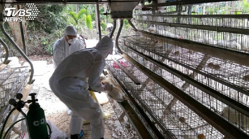 圖/中央社 台南雞隻檢出禽流感 無法確認何處感染