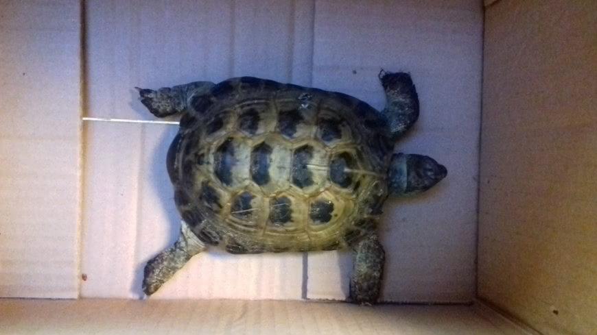 英國一隻離家出走的烏龜,半年後在一所學校被找到,該校距離飼主家僅322公尺。(圖/翻攝自推特) 時速僅8公分!烏龜離家半年 在322公尺外學校被找到