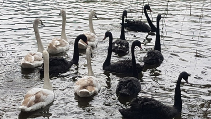 河內歷史景點還劍湖 放養天鵝引爭議