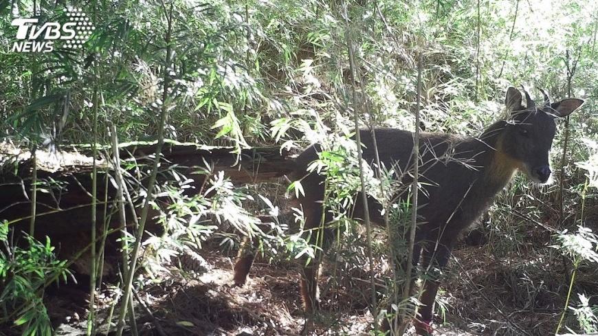 圖/中央社 不怕有毒植物 台灣野山羊大啖咬人貓全都錄