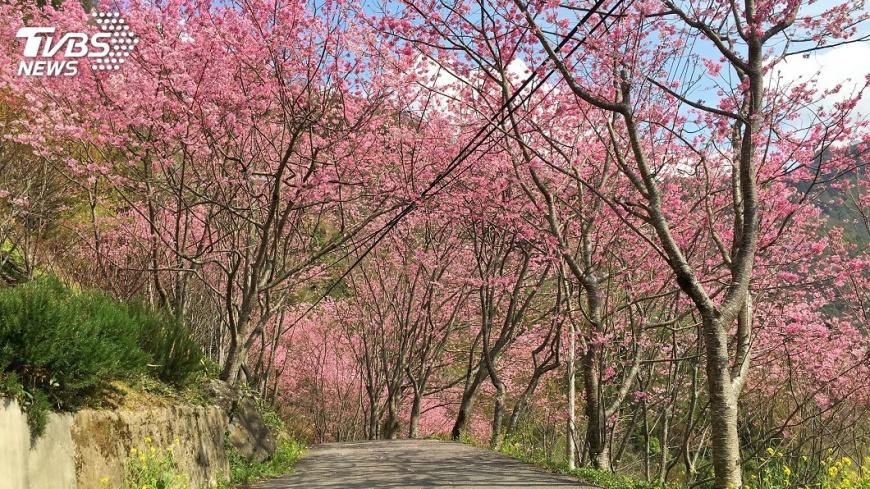 圖/中央社 許一個粉紅色假期 春遊桃園賞櫻趣