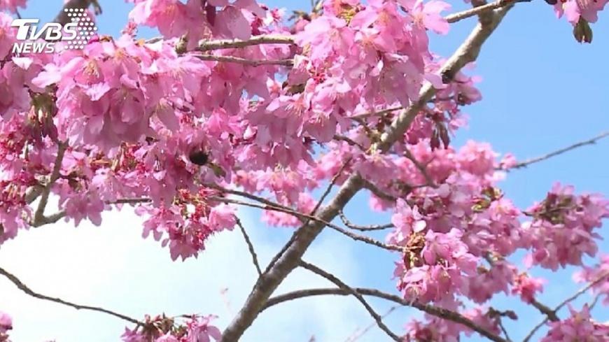 圖/TVBS 台中賞櫻趣 新春享受粉紅色浪漫