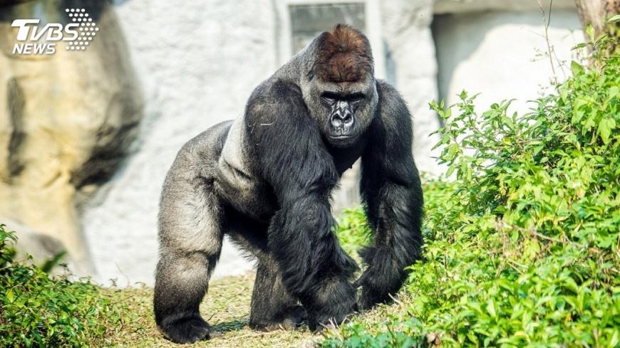示意圖/中央社(非紀錄片《王朝》影像) 紀錄片《王朝》揭密 黑猩猩宮鬥比人類更精彩