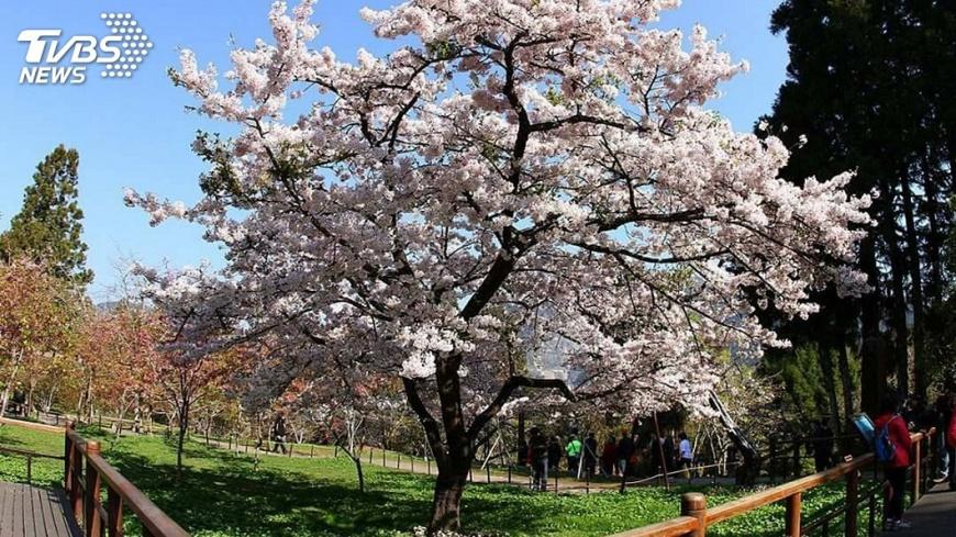 阿里山花季將於3月15日起登場,喜歡賞櫻的民眾千萬別錯過。圖/中央社