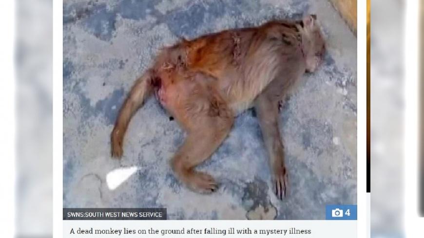 圖/太陽報 死前狂吐排血便 印度百隻猴集體暴斃
