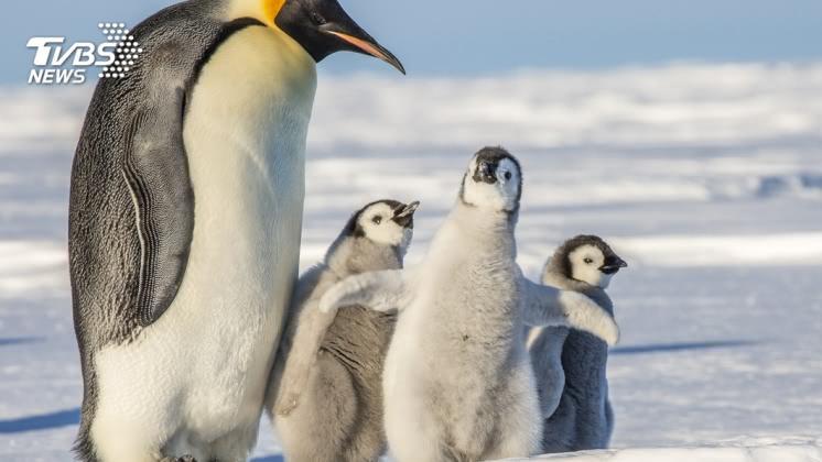 這才是企鵝本尊,示意圖/TVBS