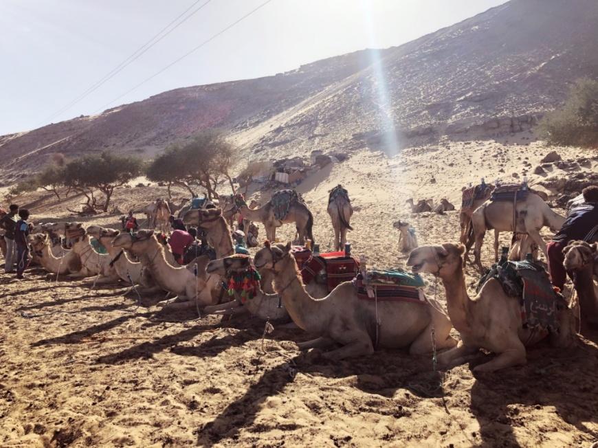 努比亞部落駱駝群
