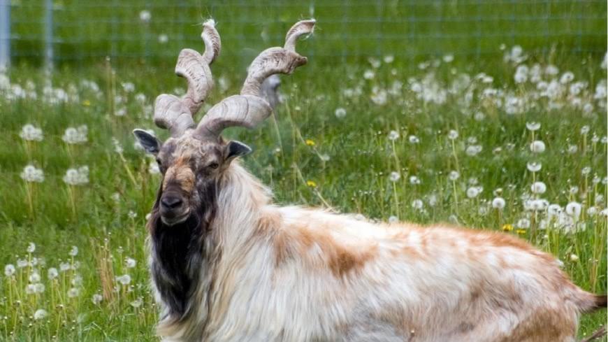 捻角山羊。圖/翻攝自百度