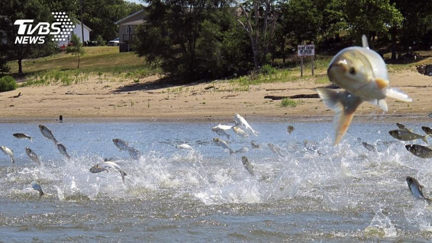 圖/達志影像美聯社 畫面驚人! 上千尾鯉魚遭電擊跳出水面