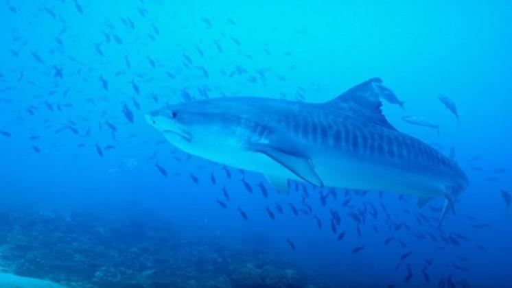 圖/翻攝自 The Economist YouTube 科學家冒險追蹤鯊魚 快速動刀塞聲波追蹤器