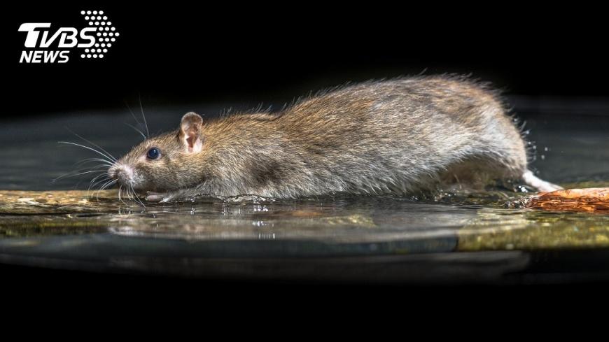 示意圖/TVBS 驚!中國鼠疫爆發地內蒙古小鎮 夏季即已鼠患成災