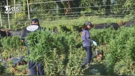 詐騙出獄不學好! 薑園種大麻市值6億被補