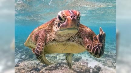 游泳中遭偷拍!超嚴肅海龜狂瞪「比中指」網笑歪