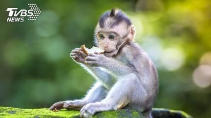 為製新藥!幼猴頭顱「植電擊棒」 慘遭活體實驗