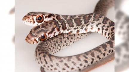 罕見「雙頭蛇」被貓叼回家 飼主餵食驚呆:2頭意見不合