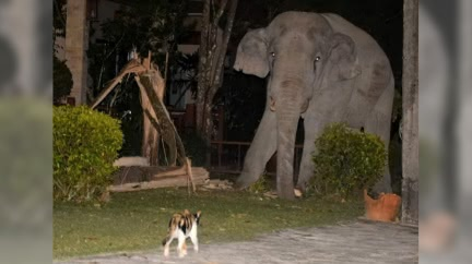 4噸重大象闖民宅 虎斑貓挺身「嘶吼對峙」嚇走不速之客