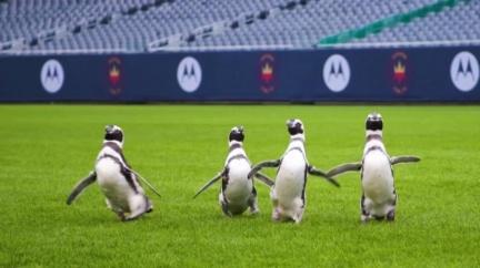 水族館關閉 企鵝闖進足球場.可愛萌翻