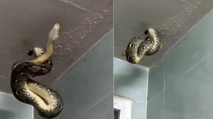 巨蟒鑽爆廁所天花板!近距離「狂凝視吐舌」男驚恐錄下