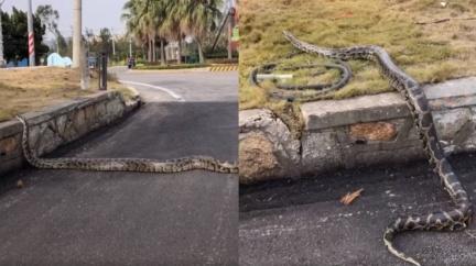 金門「巨型蟒蛇」霸氣過馬路 在地人嚇傻:樹林裡很多
