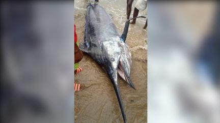 非男捕「3公尺巨魚」霸氣請全村 聽真相崩潰:千萬飛了
