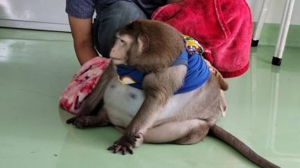 阿嬤養的?泰猴暴肥到20kg 胖到變球被強迫飲控