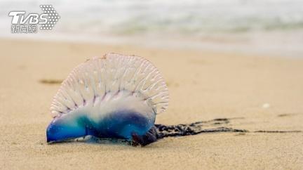 男沙灘撿到「藍色水母」舔一口 網驚呆:世界第3毒