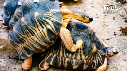 答答答!動物園驚傳「機關槍掃射聲」 竟是陸龜在交配