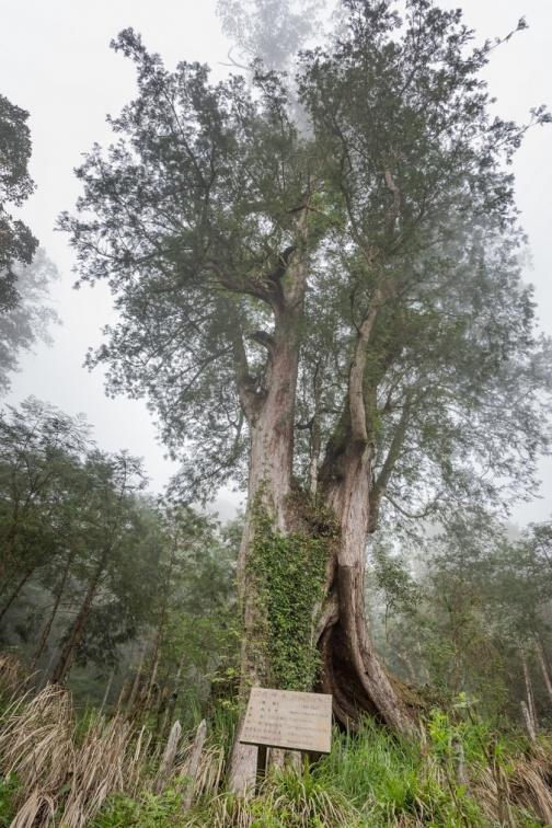 圖說3.亞洲最大神木聚落-神木園,擁有世界重要林木資源,圖為神木班昭,俗稱女人樹。.jpg