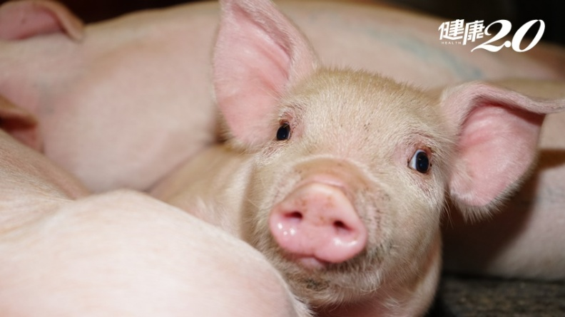 非洲豬瘟豬隻致死率達百分之百  那人咧?
