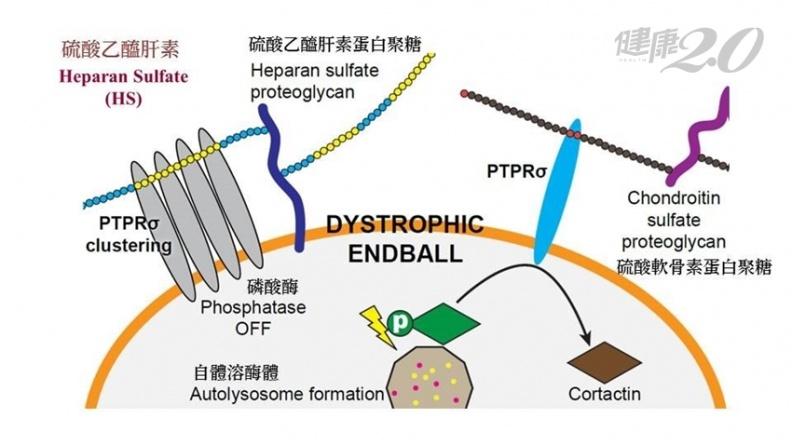 癱瘓有救了!中研院「人工合成八醣體」,可修復脊髓神經元