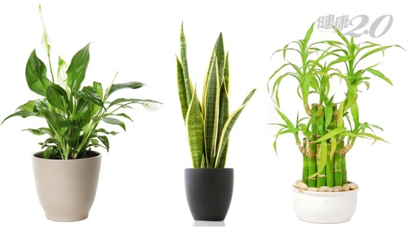 NASA認證:室內種3種植物 淨化空氣、清除病菌最有效