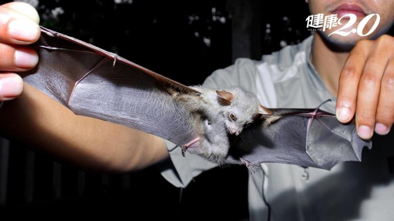 從SARS、MERS到新冠肺炎人類傷亡慘重 「病毒傳播之王」蝙蝠為何健康無事?
