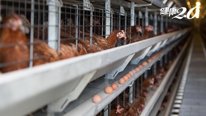 美國養雞場真實淒慘景象:公蛋雞一律慘死 蛋雞一年要下300顆蛋!