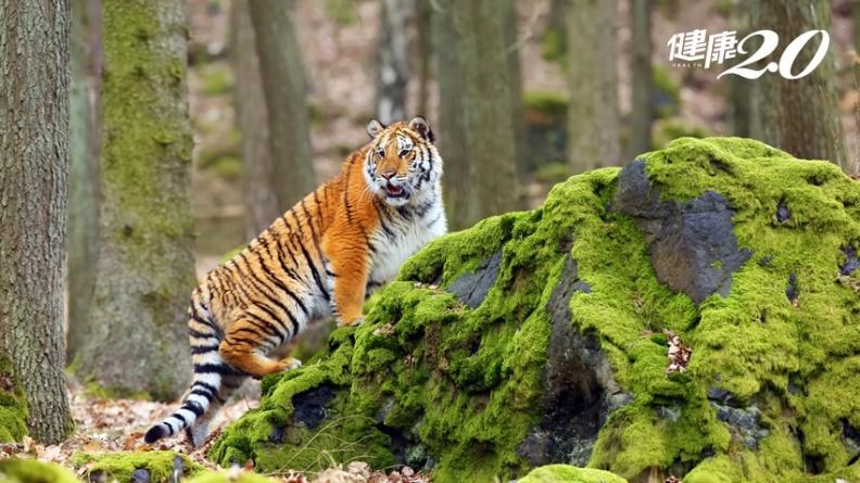 中國貓、美國老虎染新冠肺炎? 寵物疑似染病時這樣做,可避免相互傳染