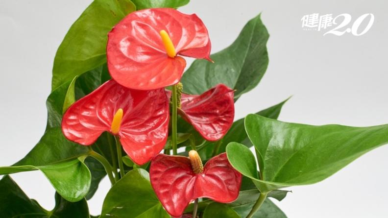 家裡、辦公室必放植物!「火鶴花」不僅表達祝福,還能淨化空氣去甲醛