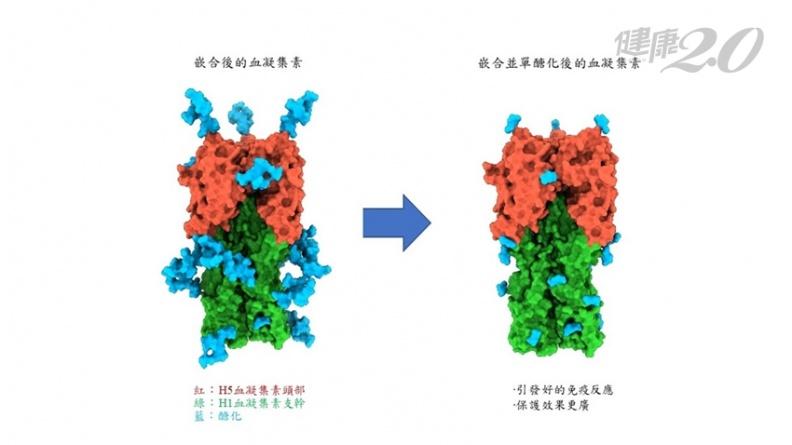 不用再猜流感病毒株!中研院研發A型流感廣效疫苗 不怕流感病毒株突變