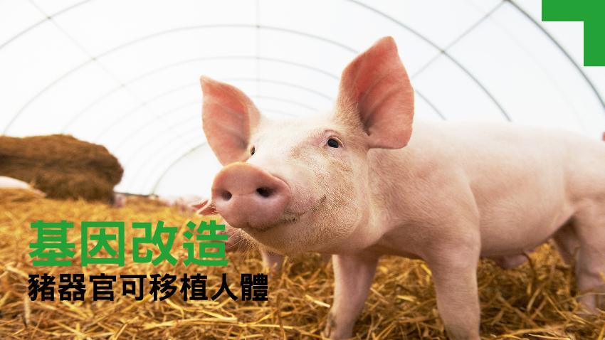 器官移植新希望 豬器官可移植人體