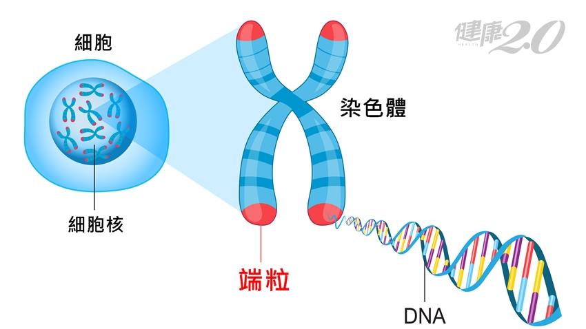 「端粒」長短會影響壽命!研究:細胞老化慢一點 小方法有用