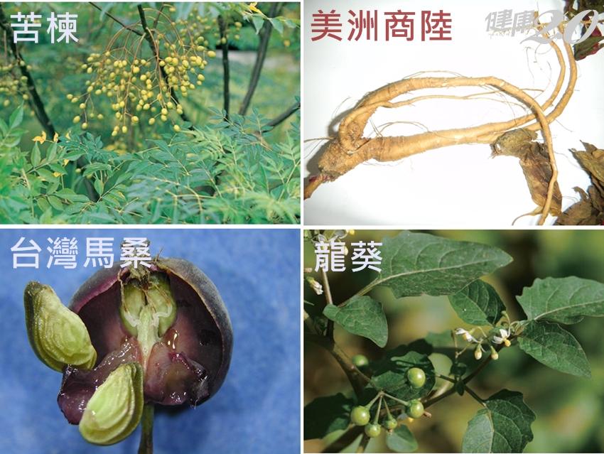 男子吃「苦楝葉」改善便祕險沒命!醫師:這4種植物小心中毒